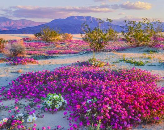 Spring Wildflowers In Anza Borrego Desert State Park, California